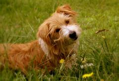 Devotion... (fotofantasea) Tags: flowers pets dogs nature grass animals fauna jackrussell apcomp fotofantasea auselite