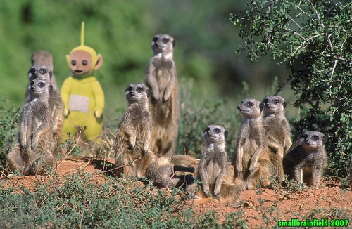 Meerkats plus one by Smallbrainfield, on Flickr