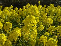field mustard 02