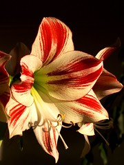 Amaryllis awake (Graniers) Tags: morning light colour amaryllis kiss2 excellence kiss3 interestingness234 outstandingshots kiss1 kiss4 kiss5 anduzetraveller superbmasterpiece