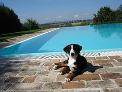 sua mest (frappo's) Tags: dog dogs pool piscina pools asha regina piscine cani maest