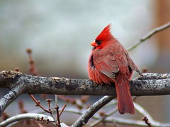 Wing and a Prayer (Creativity+ Timothy K Hamilton) Tags: winter red bird branch 500v20f cardinal avian cardinals redbird 1500v60f 1000v40f sav7del10
