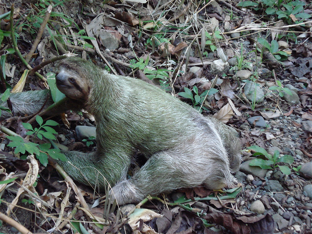 Superb Rare Image Of Sloth On Forest Floor