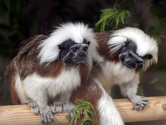Cotton topped tamarins - Cotswold wildlife park (macfudge1UK) Tags: park uk england animals fauna zoo interestingness europe 500v20f wildlife explore 500views madagascar animalplanet 2007 burford cotswoldwildlifepark wildlifepark naturesfinest cwp tamarins parkstock cotcmostfavorited cotcmost