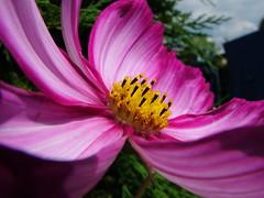macro 3 (Andrew Kettell) Tags: summer flower macro closeup purple