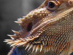 Bearded Dragon Macro (Scott Kinmartin) Tags: macro lizard winner beardeddragon pogona pogonavitticeps specanimal 1on1petsphotooftheday abigfave impressedbeauty superbmasterpiece beyondexcellence 1on1petsphotoofthedaymar2007 15challenges 15challengeswinner