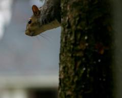 (mightyquinninwky) Tags: tree squirrel dof bokeh kentucky bark urbanwildlife lexingtonky chevychase fontaineroad centralkentucky