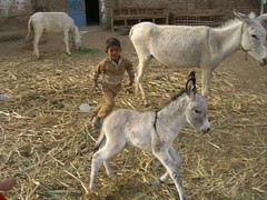 Kid chasing donkey in Luxor