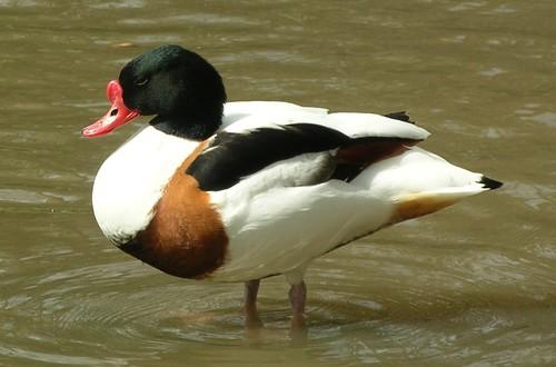Uncertain Duck