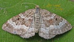 1738-DSCN2077 Common Carpet (Epirrhoe alternata) (ajmatthehiddenhouse) Tags: geometridae larentiinae moth commoncarpet epirrhoe alternata epirrhoealternata uk kent stmargaretsatcliffe garden