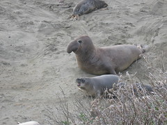 IMG_3459 (jessicanbm) Tags: elephant march san seal simeon 2007