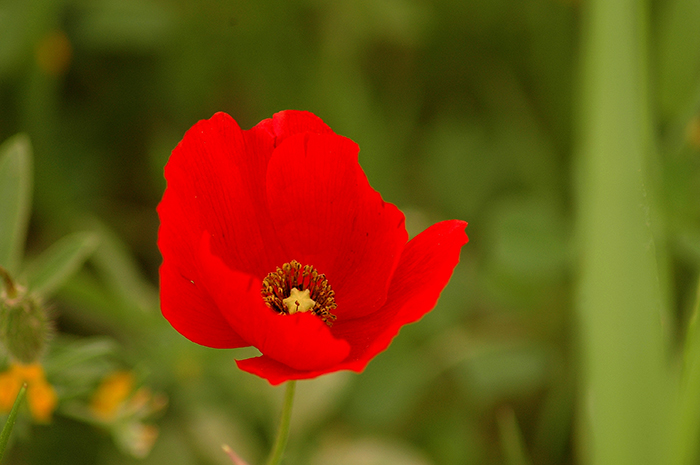 Poppy :: Click for previous photo