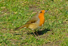 Red Breast (~fb~) Tags: park bird robin grass birds southend shoeburyness southendonsea robinredbreast shoebury abigfave ultimateshot 250307 25thmarch2007