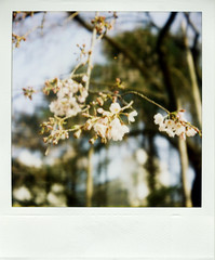 Pola-sakura #001 (gochie*) Tags: park film japan sx70 march 600  land   sakura cherryblossoms osaka 2007  autofocus  utsubo
