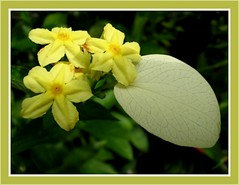 Tiny yellow stars of Mussaenda luteola in our garden, captured March 10, 2007