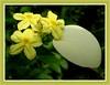 Mussaenda luteola (Dwarf Yellow Mussaenda)