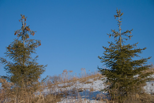 Bright Blue sky behind the pines
