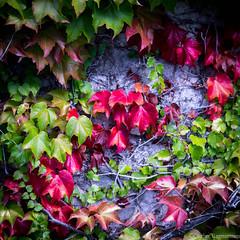 Color of life (Ó.Guð) Tags: colors color canon leav leaves óguð ogud olafurragnarsson ólafurragnarsson lauf litir haust haustlitir fall fallcolors