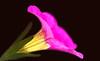 Fortitude (AnyMotion) Tags: millionbells calibracoahybrid blossom blüte macro makro 2016 plants pflanzen anymotion nature natur blumen floral flowers frankfurt 7d2 canoneos7dmarkii garden garten colours colors farben pink rosa yellow gelb makroaufnahmen winter hiver invierno