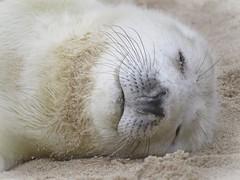 """Sweet Dreams . . Beach Baby"" (mr_snipsnap) Tags: grey seal pup baby animal mammal nature wildlife fauna norfolk beach sea ocean coast sand"