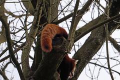 (wani_no_ko) Tags: zoo dortmund panda lesserpanda lesser kleiner roter animal animals tier