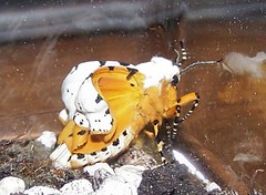 Salt Marsh Moth (newly emerged) (Carla Finley) Tags: orange white nature june moth arctiidae arctiinae fl dorsal midsize bmna ventral saltmarshmoth estigmeneacrea estigmene newlyhatched 26thingsjan07