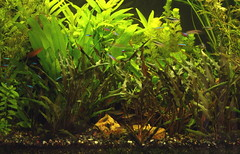 Planted Tank 03 (The Wandering Angel) Tags: plants fish animals aquarium philippines hobby freshwater aquascapes