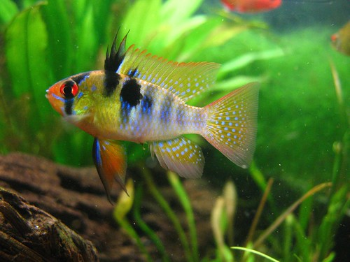 Blue Ram  : Animal World of Water: German Blue Ram Cichlid