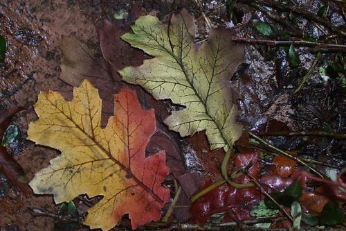 Dec. Oak Leaves
