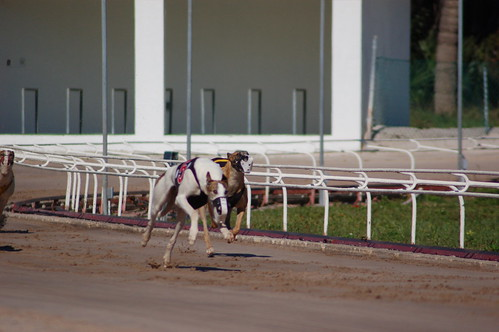 Greyhound Racing: Home Stretch by sombraala on flickr