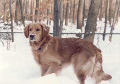 Fred's First Snow (Cowtools) Tags: snow goldenretriever retriever greenbelt petsdc