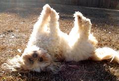Canine High Kicks (kelly-bell) Tags: dog pet playing animal outside backyard upsidedown critter shihtzu mattie canine stretch 100 5bestdogs caughtintheact allanimals animalintrigue yearofthedog petparade animaladdiction dogsdogsandmoredogs