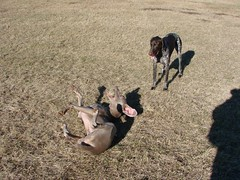 roll in the hay 3 (Magunth) Tags: weimaraner germanshorthair gsp sonydsch5