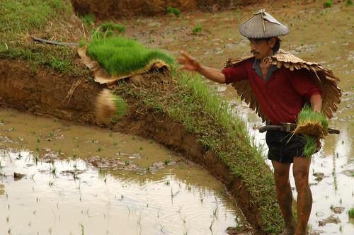 luisiana laguna farm worker farmer farming rice seedling planting Pinoy Filipino Pilipino Buhay  people pictures photos life Philippinen  菲律宾  菲律賓  필리핀(공화국) Philippines,rural