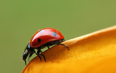 On the edge (David Lev) Tags: red green yellow leaf ladybug mygarden nirim specnature animalkingdomelite anawesomeshot aplusphoto buzznbugz goldwildlife spectacularmacro