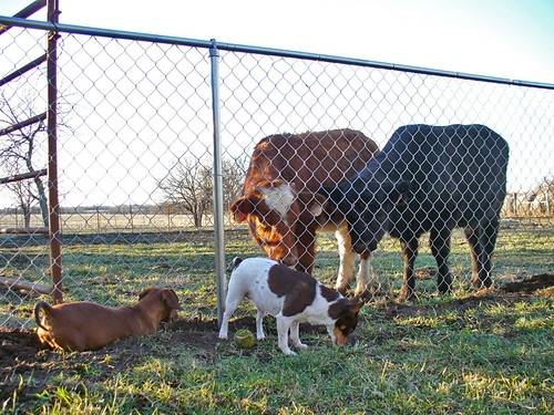 2007-01-06 - Dogs and Cows - 0034