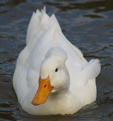 "Pong the ""white crested duck"" (JAMES HALLROBINSON) Tags: winter white kentucky pong wildfowl abigfave whitecrestedduck mcneelylake"