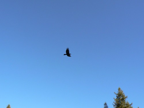 Common Raven, flying