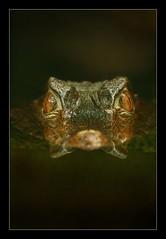 From below.. (hvhe1) Tags: nature animal animals bravo wildlife crocodile croc caiman interestingness7 seachthebest specnature specanimal animalkingdomelite abigfave artlibre hvhe1 hennievanheerden anawesomeshot impressedbeauty flickrplatinum
