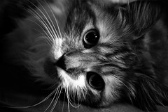 My Norwegian Forest Cat (glenOX [glen navarra]) Tags: camera blackandwhite bw pet cats white black cute beautiful beauty animal norway cat turkey pose lens newjersey paw eyes kitten minolta russia patterns sony coat pussy nj melissa gato stunning missy kimono hunter tagme paws siberian popular catcat eyeballs lawrenceville furs norsk pusa turkishangora norwegianforestcat mostviewed softpaws skogkatt closeupshot 18200mm severs householdpet wegie longhairedcat iring outdoorcat kuring bwcat sonya100 muning favoritecat glenox glennavarra norskskaukatt loosehairs skaukatt kimrecamadas skaukattskogkattwegie notmainecoon orangecolorcat lookslikegarfield ashleyvictoriaoughton