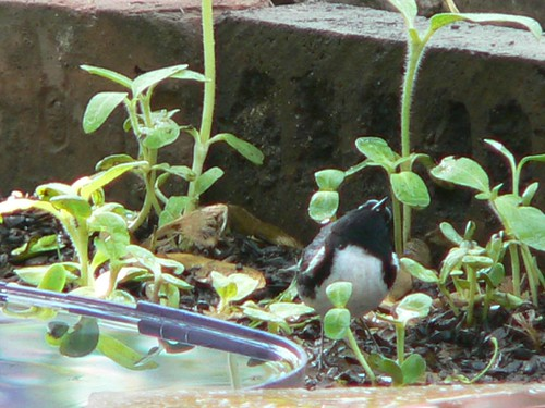 601 Black-throated Blue Warbler 02