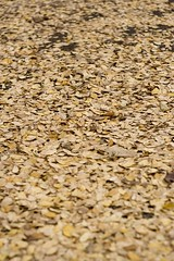 Leaves - Focus (zach-o-matic) Tags: autumn fall leaves season seasons depthoffield rebelxt canonrebelxt focalrange canon350 wideapeture