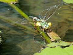 Anax imperator ovipositing (Bob Reimer) Tags: dragonfly mauritius odonata pamplemousses anisoptera aeshnidae oviposit anaximperator sirseewoosagurramgoolambotanicalgardens