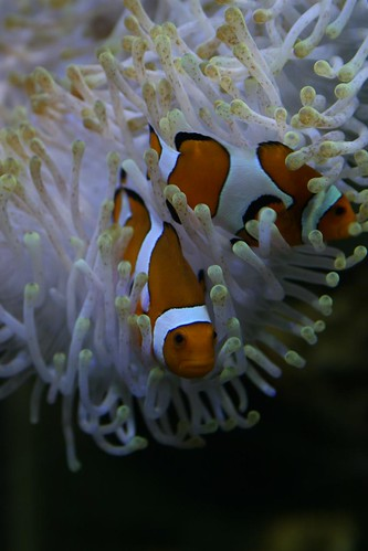 Clownfish and Anemonies