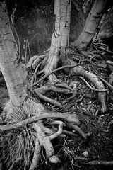 Exposed (JTHphoto) Tags: trees arizona blackandwhite tree roots sedona exposed unearthed blackribbonbeauty