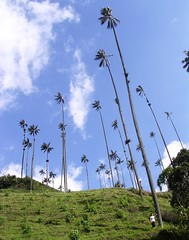 Cocora valley: Wax palms Coffee growing region Salento Colombia