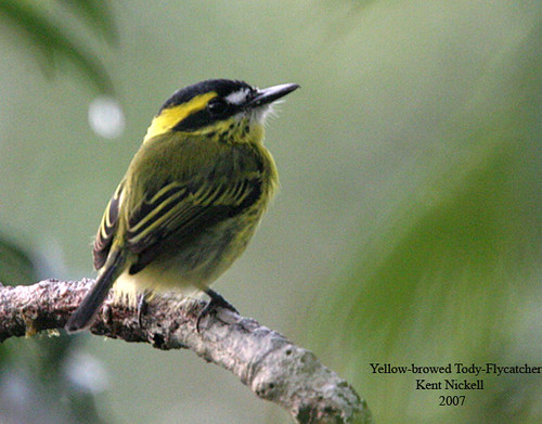 Yellow-browed Tody-Flycatcher (Todirostrum chrysocrotaphum)