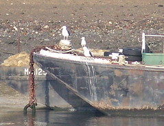 Great Black-Backed gulls on the Thames