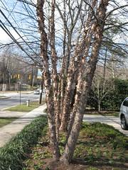 image Betula nigra in a row
