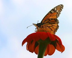 A Butterfly from a Bug's View (` Toshio ') Tags: flower macro nature butterfly colorful farm maryland frombelow pointofview toshio aplusphoto
